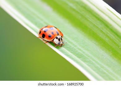 A ladybird staying green leaves in the wild