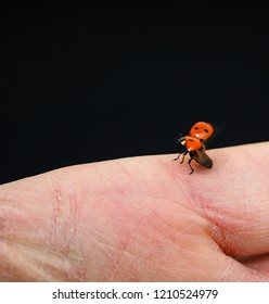 Ladybird at take-off from a anonymous caucasian hand towards black