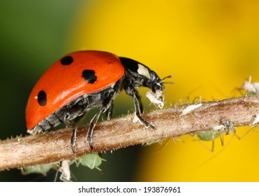 Ladybug and aphids, macro photo