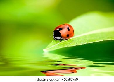 Ladybug balanced on a bright green leaf with reflection