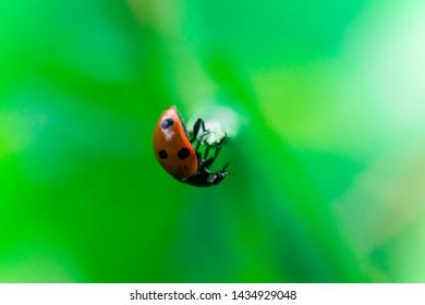 Ladybug balances on top of a stalk, Macro photo, close up, insect,  Coccinellidae, Arthropoda, Coleoptera, Cucujiformia, Polyphaga