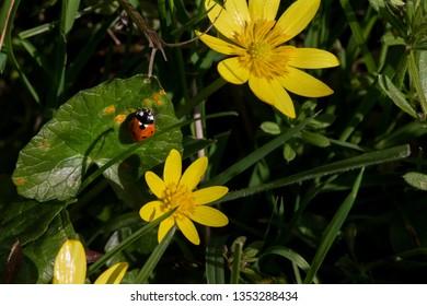 Ladybug Basks in the Spring Sunshine