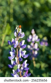 Ladybug Beetle on a Wild Purple Lupine Flower