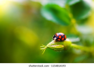 ladybug beetle sitting on a leaf on a blurred background