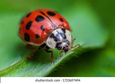 Ladybug with black eyes in macro. Super macro photo of insects and bugs. Ladybug on green leaf.