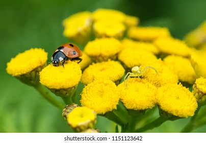 Ladybug and a camouflaged spider waiting for prey.