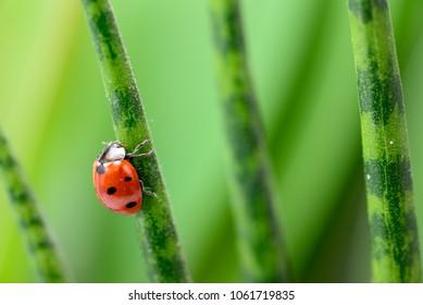 Ladybug climbing a cane