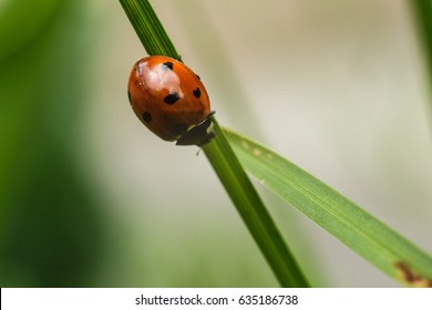 Ladybug climbing a grass blade