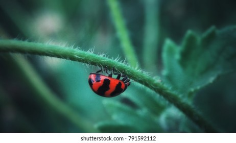ladybug, Coccinellidae, animal with red wings, body red, polkadot, in the nature habitat, Indonesia. Ladybug in the nature. Beautiful ladybug in forest, exotic animal from Indonesia, Green flower.