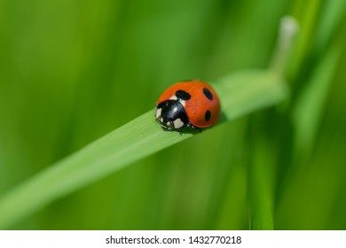 Ladybug (Coccinellidae) on a blade of green grass