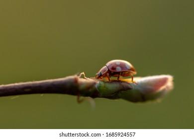 A ladybug (Coccinellidae) on a twig. To be precise a  Calvia quatuordecimguttata