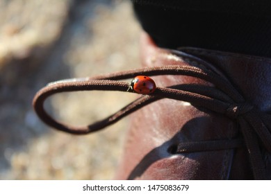 Ladybug (Coccinellidae) walks on the lace of a man's old fashioned shoe