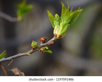 A ladybug, cocinnella septempunctata, walks on a branch with small green leaves