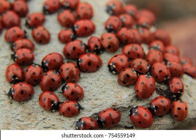Ladybug colony on stone