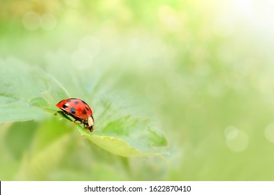 Ladybug is crawling on green leaf closed up beautiful nature background - Shutterstock ID 1622870410