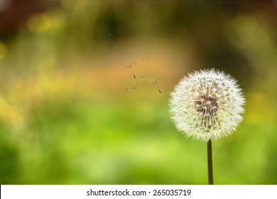 Ladybug and dandelion for adv or others purpose use