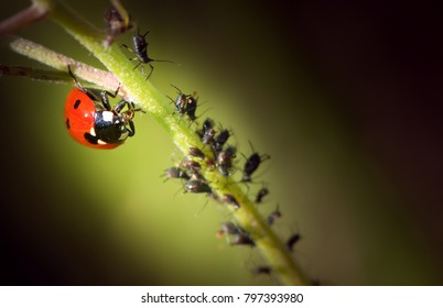 ladybug is eating aphids