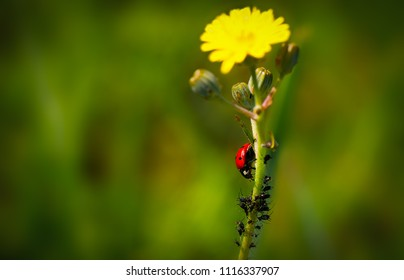 ladybug is eating a lot of aphids on a yellow flower