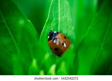 Ladybug, eating a leaf, Coccinellidae, Arthropoda, Coleoptera,
