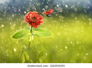 Ladybug fly off from a red flower under fresh raindrops on a beautiful green background in sunshine on nature, macro. Beautiful spring summer natural background rain  with copy space.