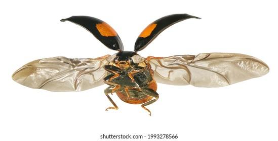 Ladybug flying. Ladybird Harmonia axyridis (Coleoptera: Coccinellidae). Isolated on a white background