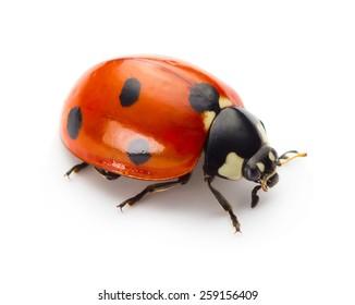 Ladybug insect isolated on white background
