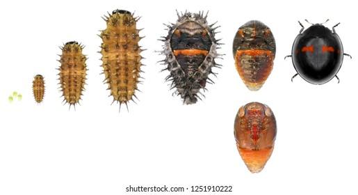Ladybug (ladybird), Chilocorus bipustulatus (Coleoptera: Coccinellidae). The heather ladybird. Development stages isolated on a white background