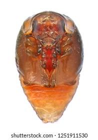 Ladybug (ladybird), Chilocorus bipustulatus (Coleoptera: Coccinellidae). The heather ladybird. Pupa. Isolated on a white background