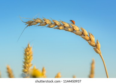 Ladybug, Ladybird hanging over a golden grain ear (botany). Light blue sky in background. Crop field in bloom with golden wheat flourishing.