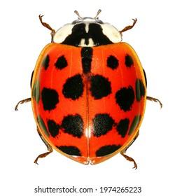 Ladybug (ladybird), Harmonia axyridis (Coleoptera: Coccinellidae). Adult. Color variation. Isolated on a white background