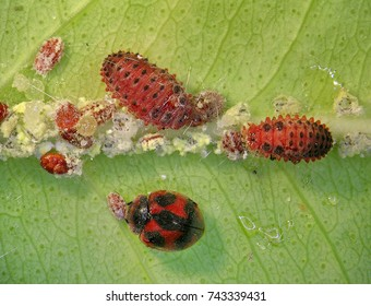 Ladybug (ladybird), Rodolia cardinalis (Coleoptera: Coccinellidae), Vedalia beetle (larvae and imago) is a natural enemy of Cottony Cushion Scale (Icerya purchasi). Biological control concept