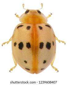 Ladybug (ladybird), Syllobora bisoctonotata (Coleoptera: Coccinellidae). Isolated on a white background