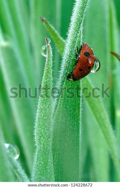 Ladybug with large dew droplet on back on dew covered grass