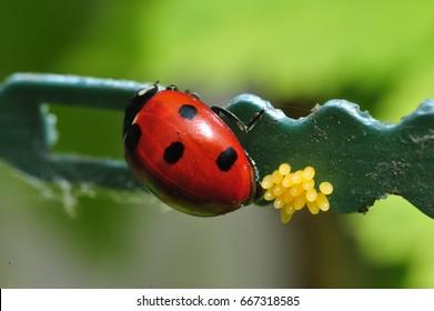 Ladybug Egg Images Stock Photos Vectors Shutterstock