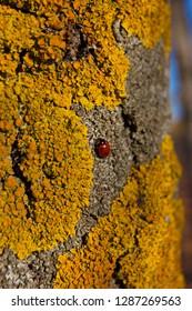ladybug. Lichen on tree branch