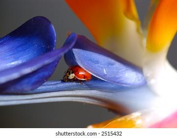 Ladybug Nestled Into Bird of Paradise
