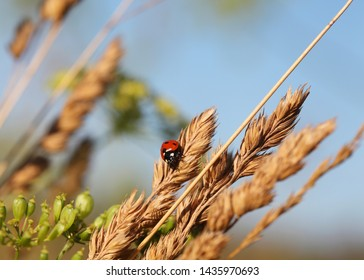 Ladybug on a blade of grass on the dawn. Selective focus.