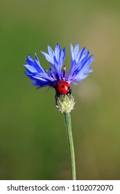 Ladybug on a blue cornflower in a summer field