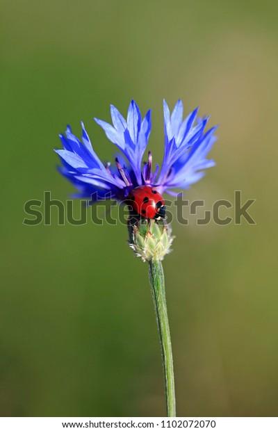 Ladybug on a blue cornflower in a summer field