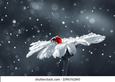 Ladybug on daisy flower and water drops, abstract background.