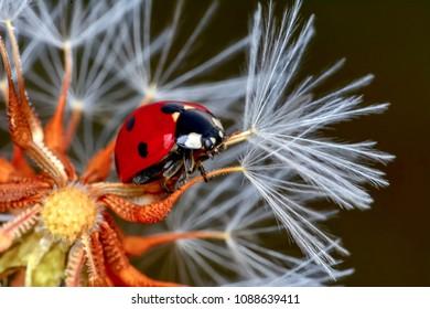 Ladybug on dandelion  defocused background