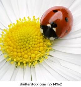 ladybug on flower petals