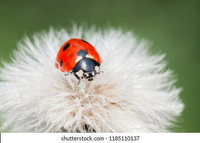 A ladybug on a fluffy plants in a dreamy atmosphere. Macro photography,