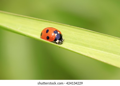 Ladybug on the grass, closeup of photo