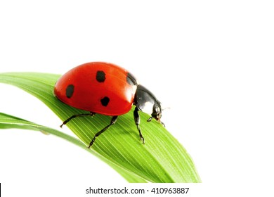 Ladybug on grass macro isolated on white background