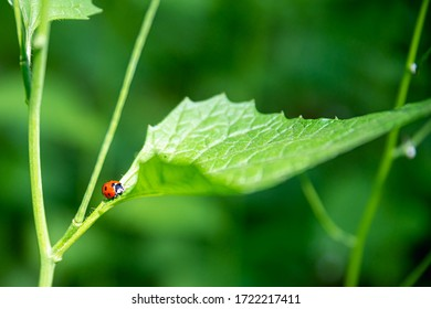 Ladybug on the green grass. Red ladybug creeps on stem of plant in spring, ladybird on green leaf in garden in summer.