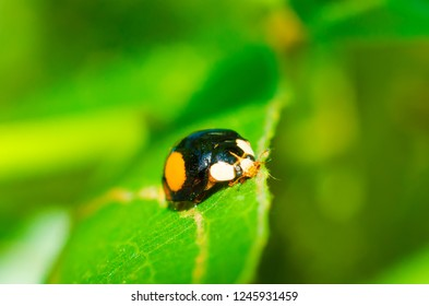 ladybug on a green leaf macro