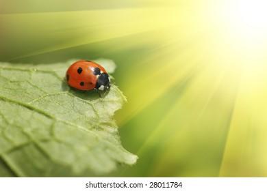 Ladybug on green leaf. Macro close-up, shallow DOF.