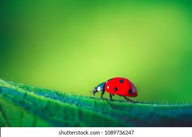 Ladybug on green leaf plant, close up