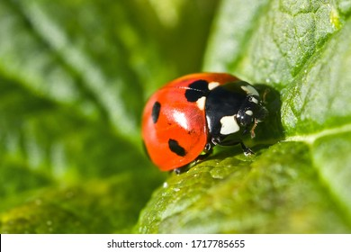 Ladybug on a green leaf. Red insect, macro.